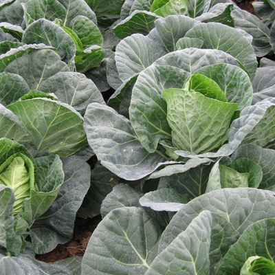 Cabbage Seeds Durham Elf Spring Type