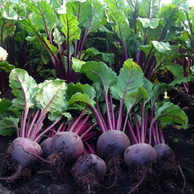 Beetroot Rhonda F.1 Hybrid Seeds