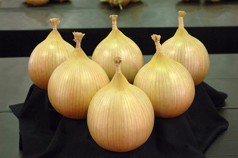 Giant Onion Seeds - Ailsae Big Onions