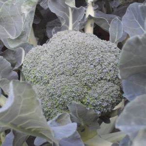 Calabrese or Summer Broccoli Seeds