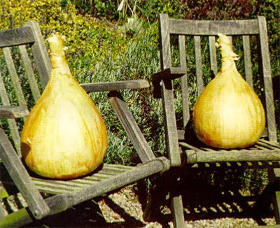 Growing Giant Onions From Seed To Show Bench