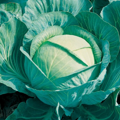 Cabbage Autumn Green type  Brigadier F.1 Hybrid Seed