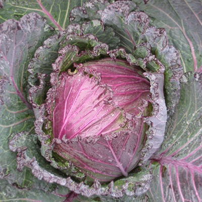 Cabbage Deadon F.1 Hybrid Seeds Winter January King Type