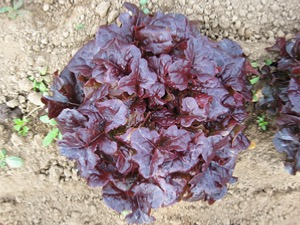 Lettuce Seed Lollo Rossa Types