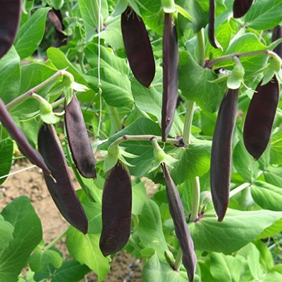 Mangetout Purple Shiraz Seeds