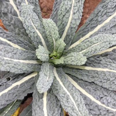 Black Kale- Black Cabbage Calvado Nero seeds